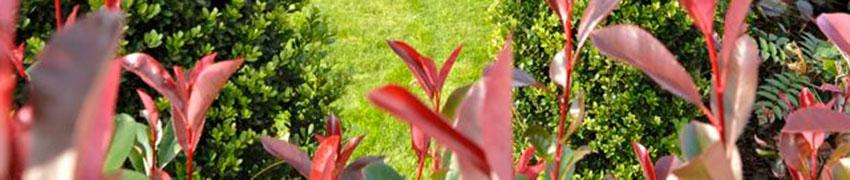 Acheter des arbustes
