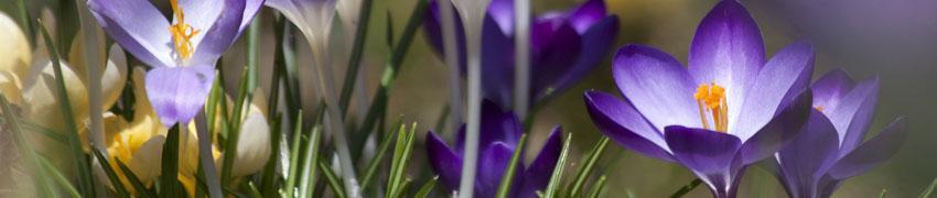 Krokus kopen bij Haagplanten.net