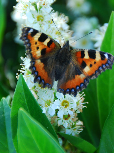 Papillon au Laurier
