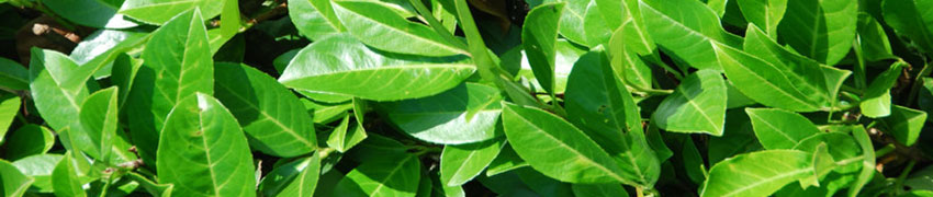 Prunus laurocerasus - Laurier cerise