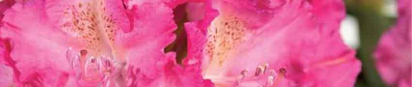 L'entretien de vos Rhododendrons