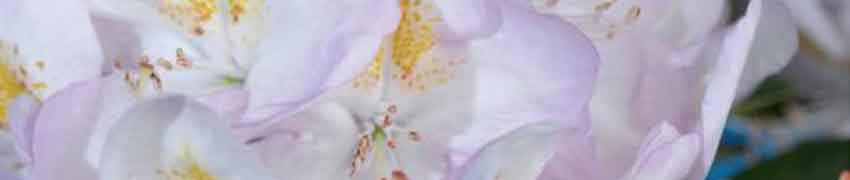 Origines du Rhododendron